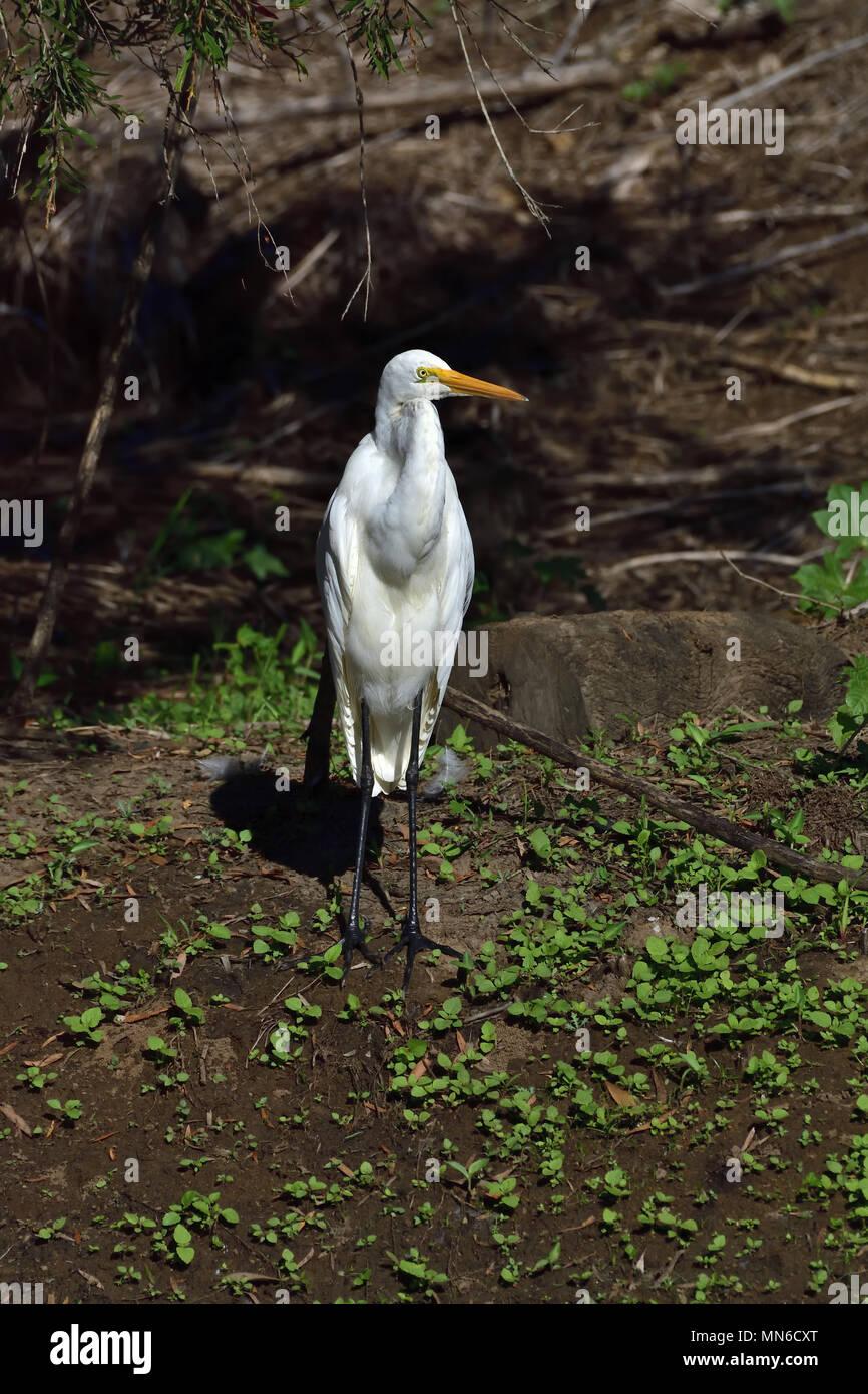 An Australian, Queensland nonbreeding Great Egret, Ardea alba - Stock Image