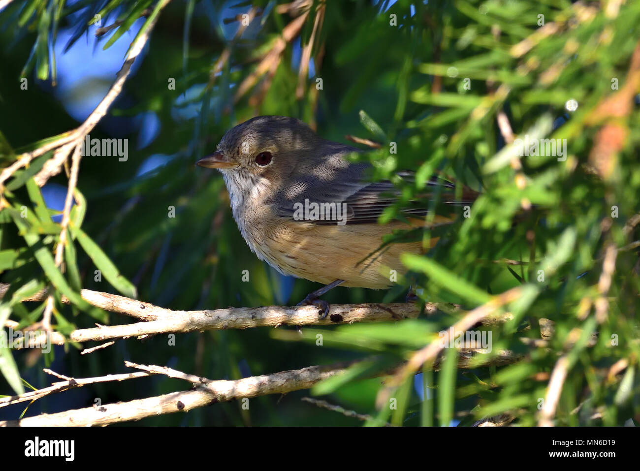 An Australian, Queensland Immature Rufous Whistler, Pachycephala rufiventris resting on a Tree branch hiding in thick bush - Stock Image