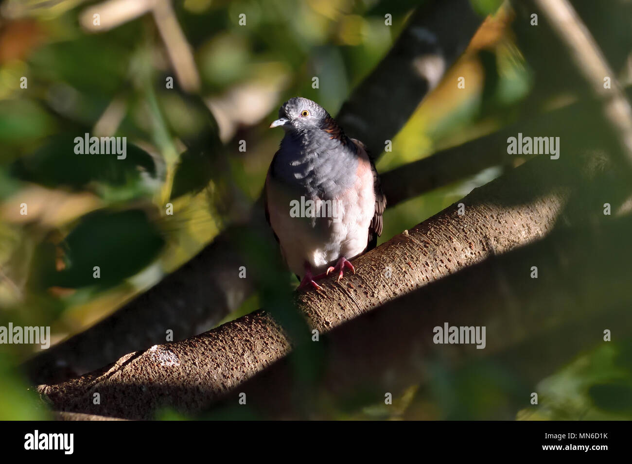 An Australian, Queensland Bar-shouldered Dove, Geopelia humeralis hiding in thick bush - Stock Image