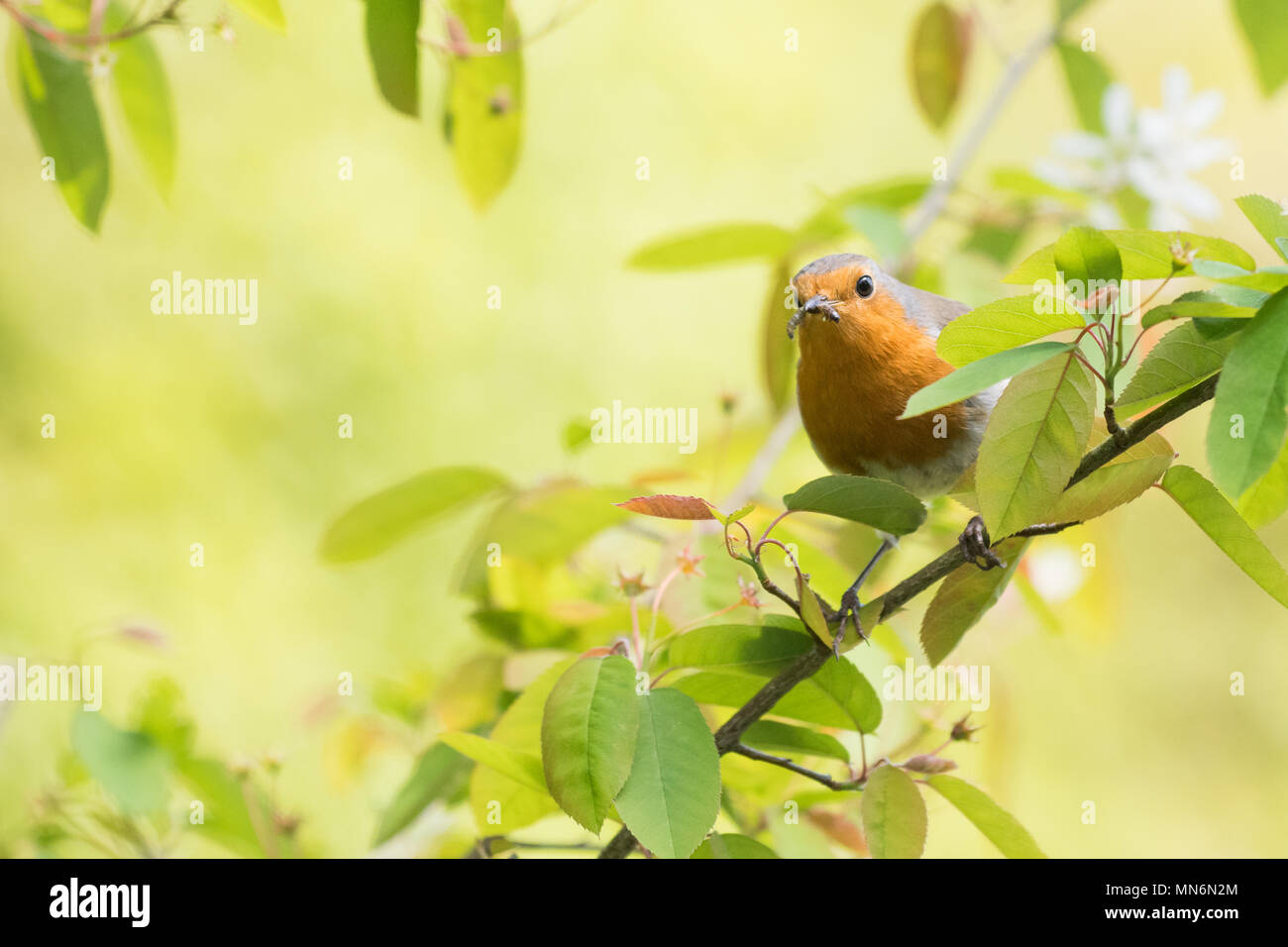 European robin Erithacus Rubecula with a grub in its beak perched in amelanchier tree in spring with copyspace - Stock Image