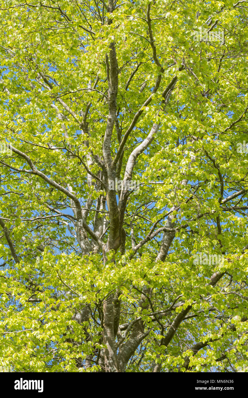 beech tree in spring - Stock Image