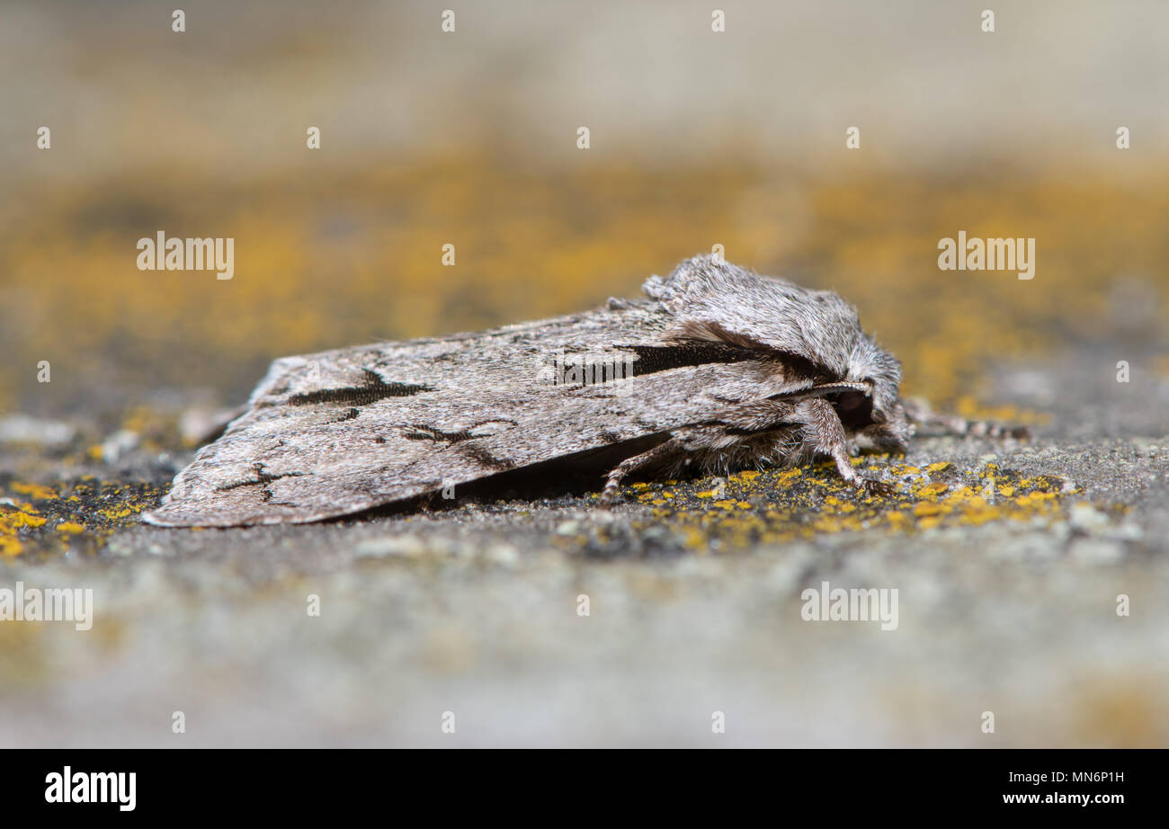 Grey dagger (Actronicta psi) moth at rest on lichen. British insect in the family Noctuidae, the largest British family of moths - Stock Image