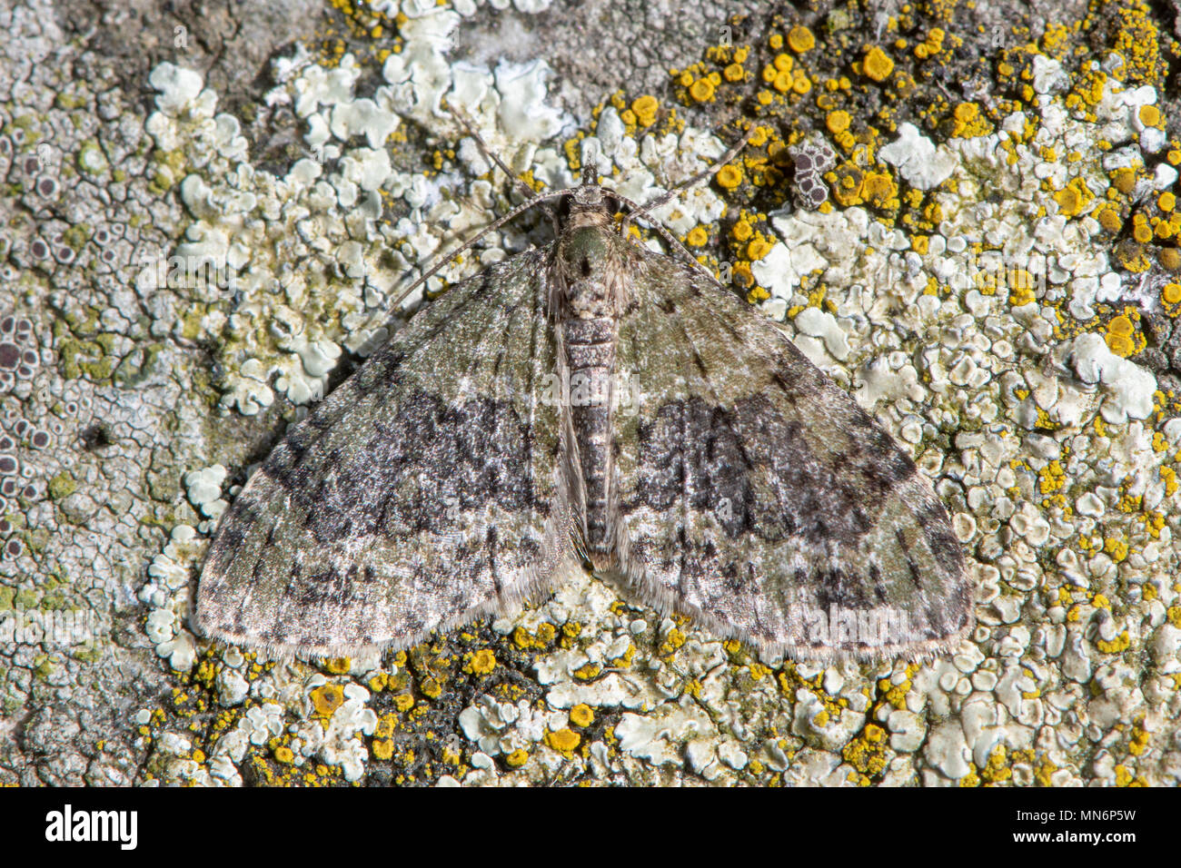 Yellow-barred brindle (Acasis viretata) moth. Worn insect in the family Geometridae, camouflaged against lichen on stone - Stock Image