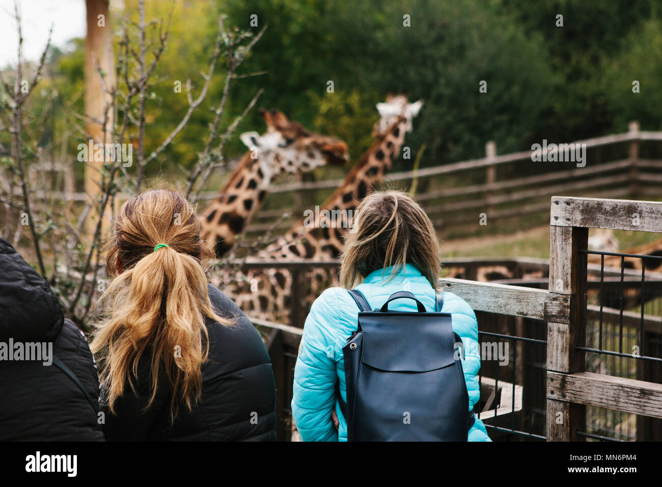 People or group of friends or guests of zoo look at giraffes - Stock Image