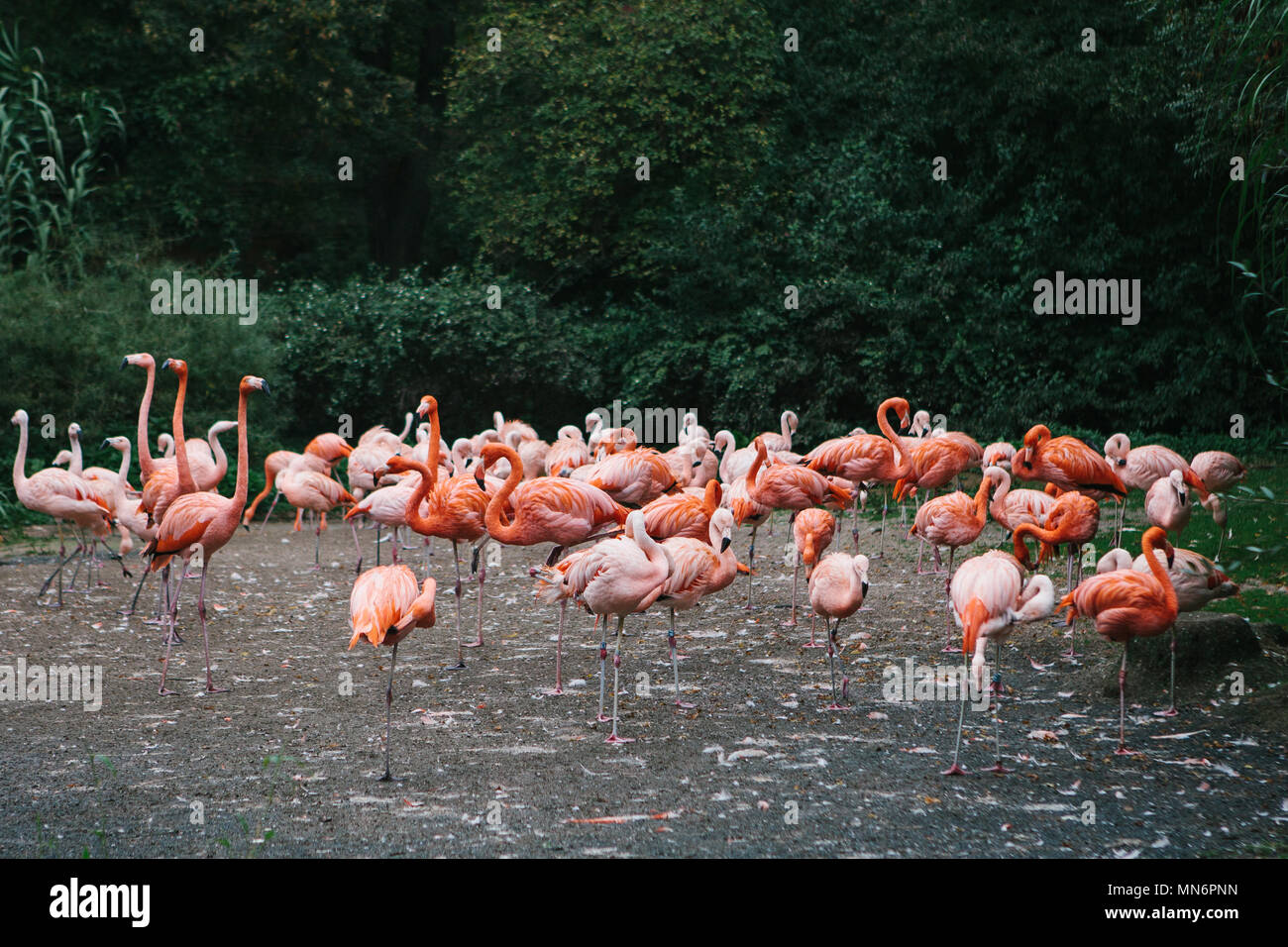 Flamingo or pack of flamingo in zoo of Prague - Stock Image