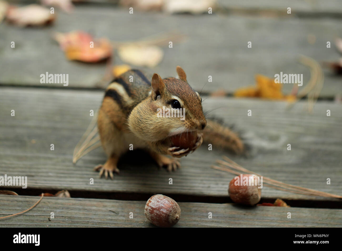 Close-up of Eastern chipmunk (Tamias striatus) attempting to stuff its cheeks with an acorn Stock Photo