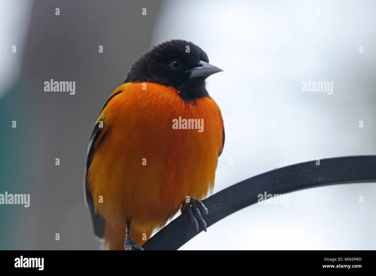 Close-up of a male Northern oriole (Icterus galbula) perched on a wrought iron plant hook in spring Stock Photo