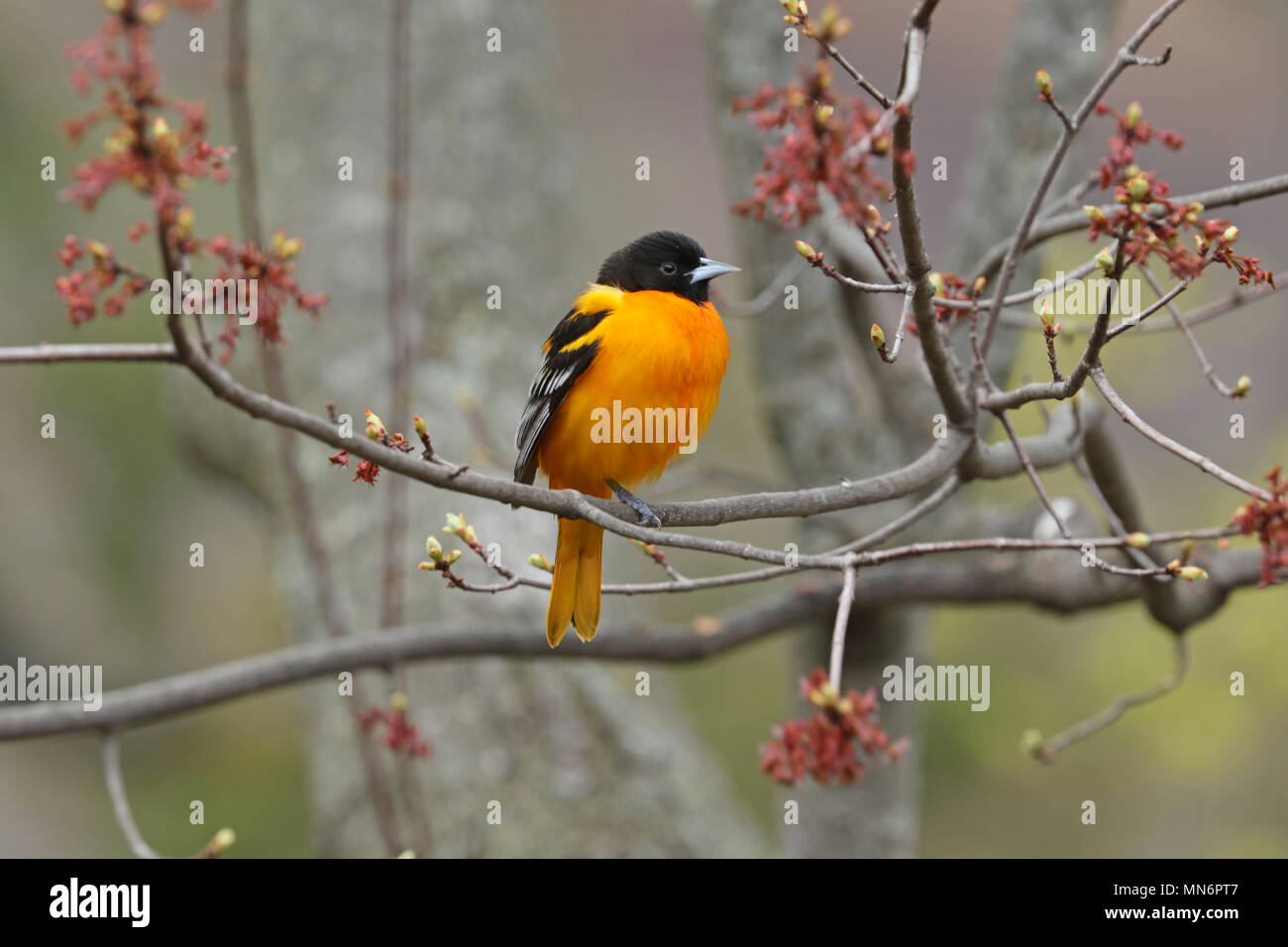 A male Northern oriole (Icterus galbula) perched on a branch of a budding maple tree in spring Stock Photo
