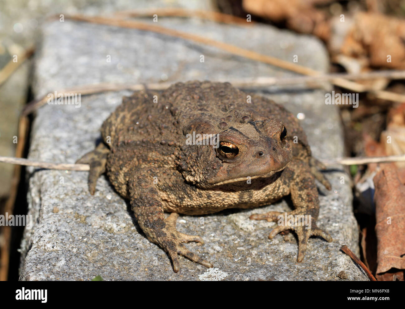 Close-up of a juvenile Fowler's toad (Anaxyrus fowleri) lounging on a garden stone beside leaf litter in spring Stock Photo