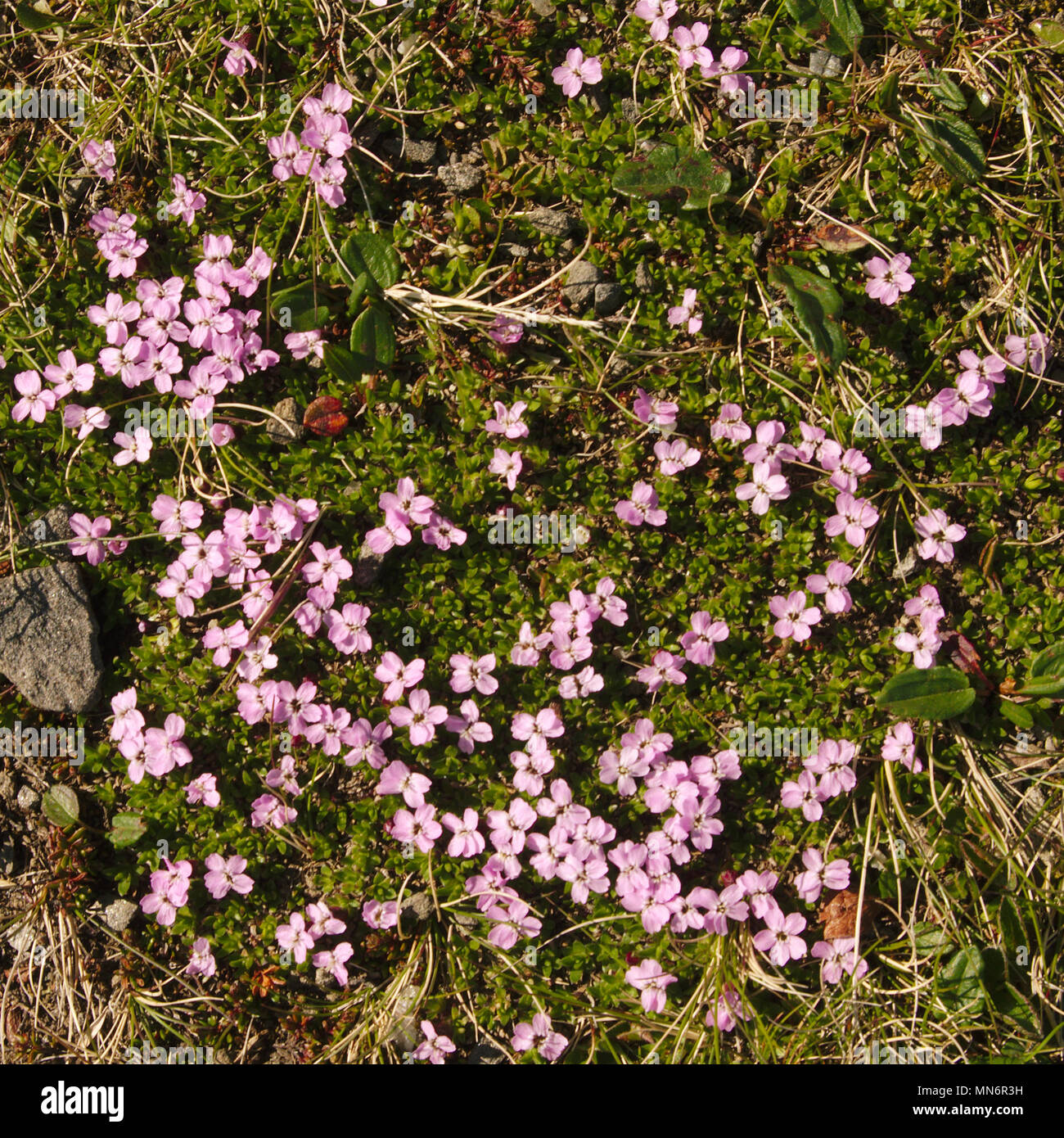 Pink Cushion Flowers Growing On The Rocky Soil Of The North Cape In