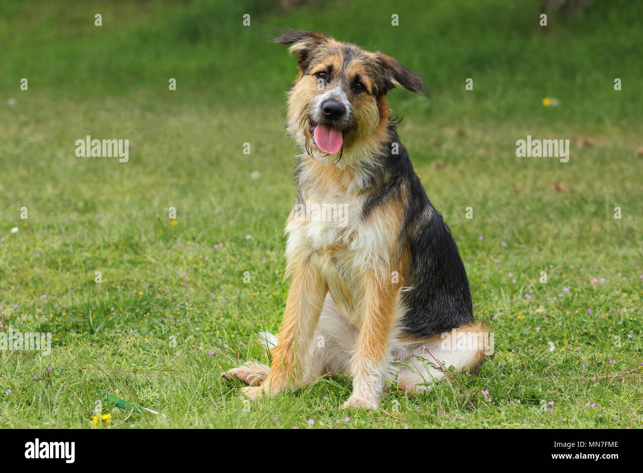 shepherd breed dog sitting tilts his head listening with a caring and cheerful look - Stock Image