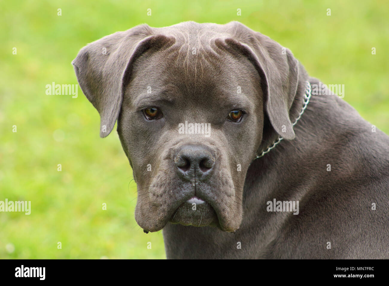 Face Of A Young Blue Cane Corso Dog With Tender Eyes Stock Photo