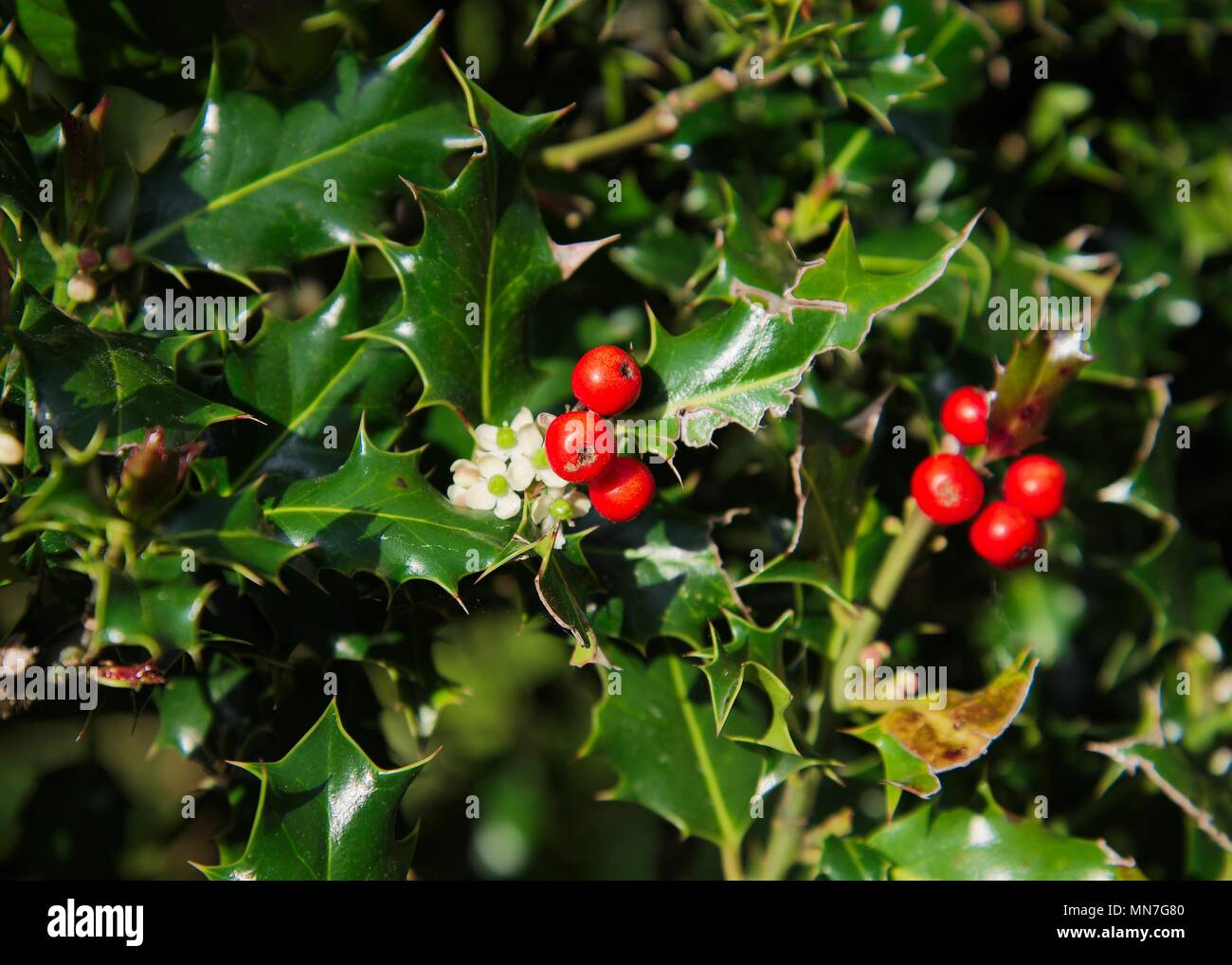 Wild green holly bush with bright red berries and small white wild green holly bush with bright red berries and small white flowers mightylinksfo