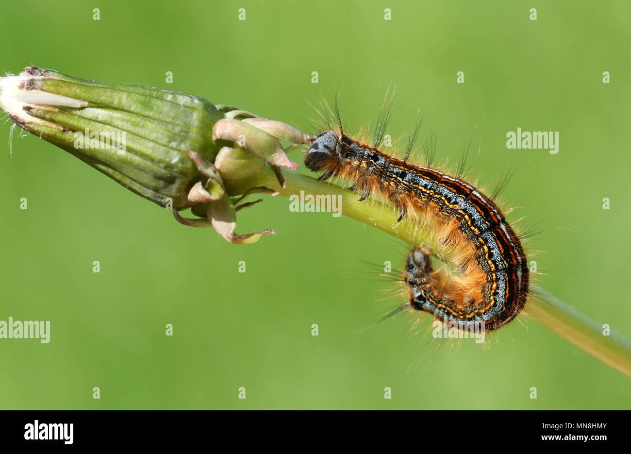 A stunning Lackey Moth Caterpillar  (Malacosoma neustria) on a dandelion stem. - Stock Image