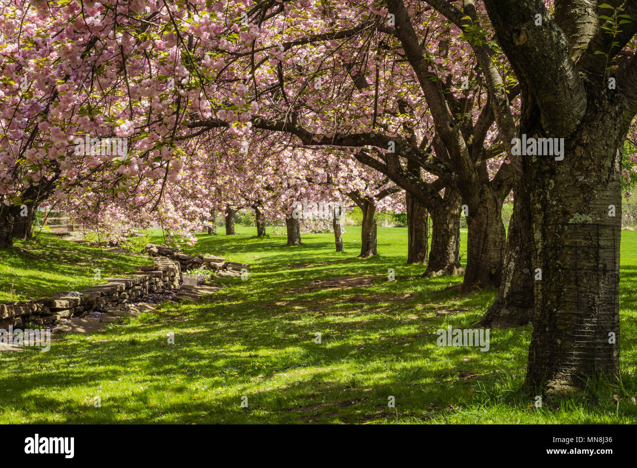 Pink cherry trees drape gracefully near a stone canal on a sunny spring day - Stock Image