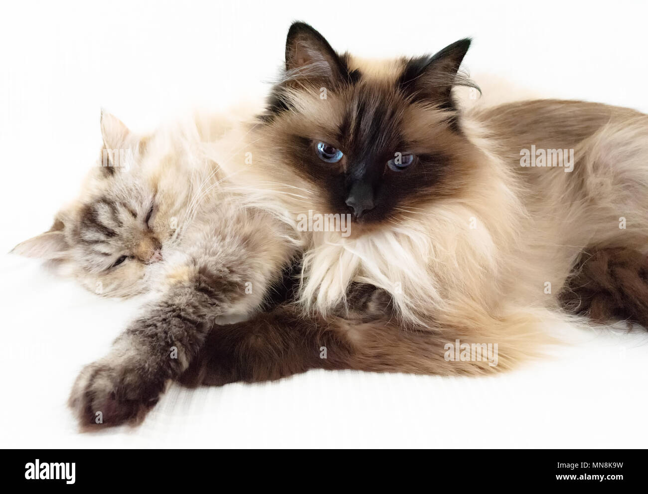 two fluffy cats snuggled up against each other on white sheet - Stock Image