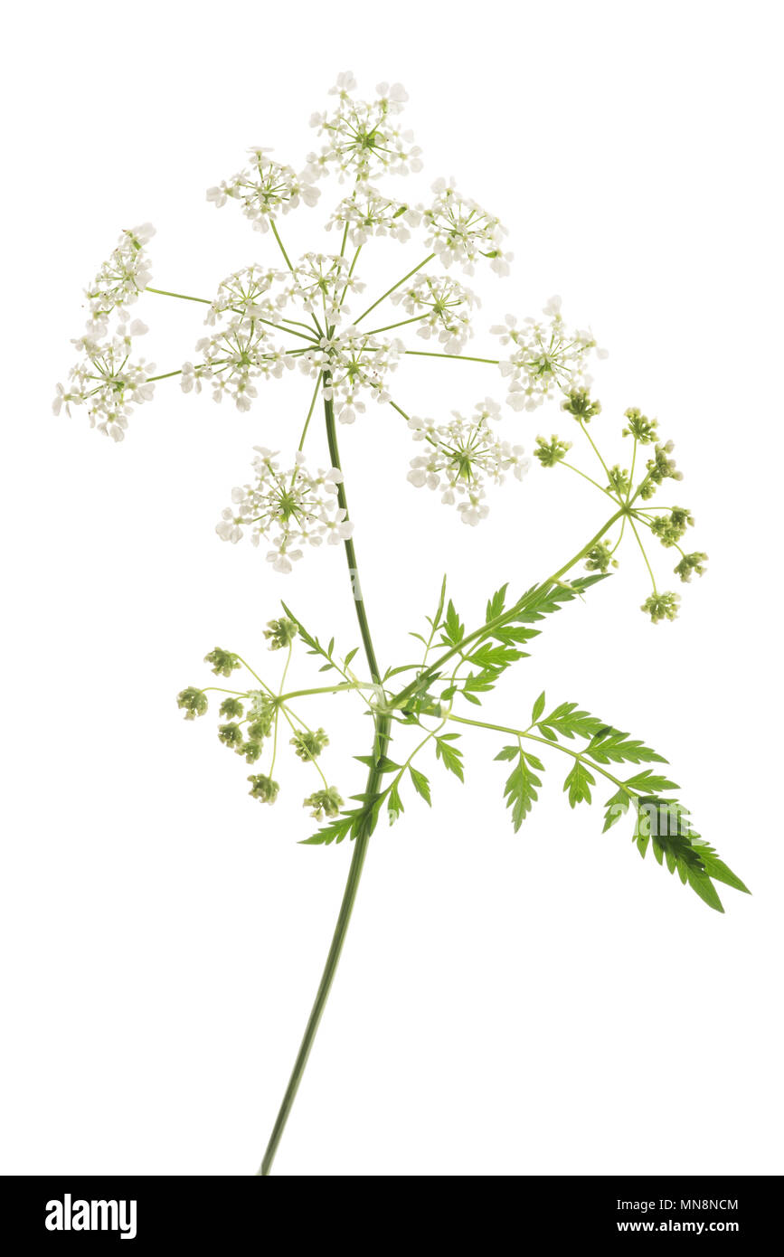 Cow Parsley or Wild Chervil isolated on white - Stock Image
