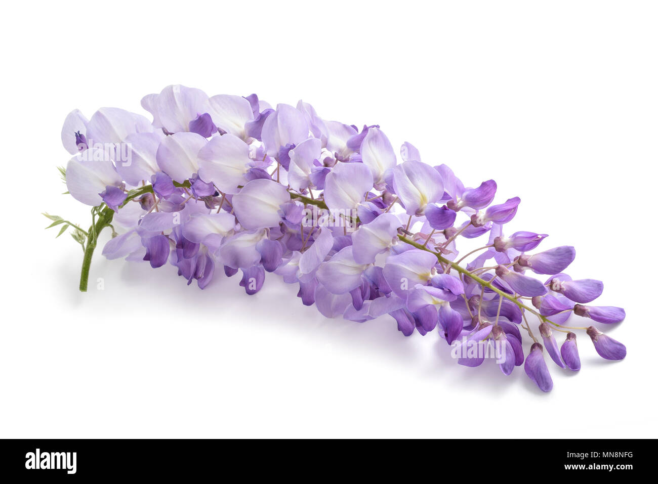 wisteria flowers isolated on white background - Stock Image