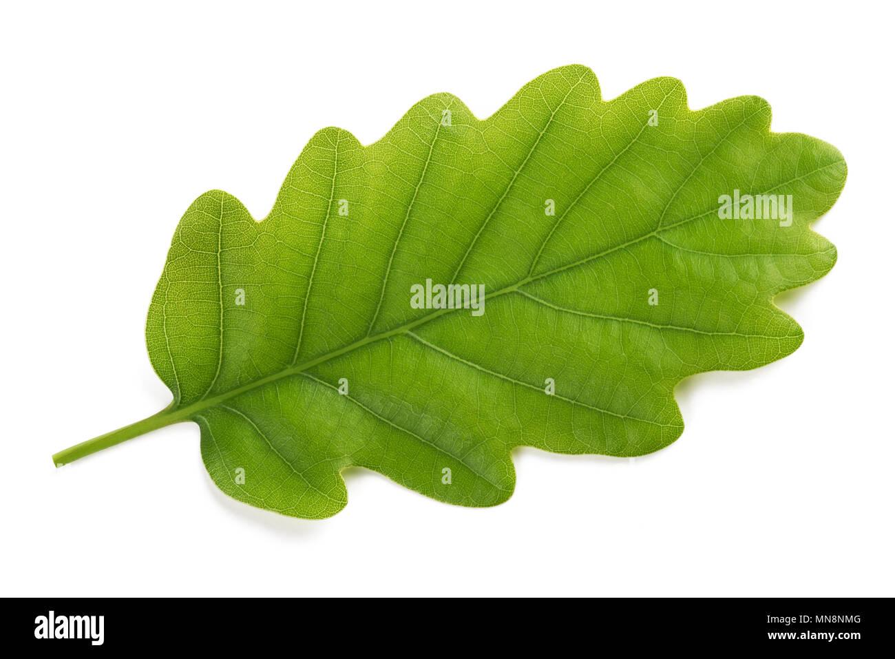 Fresh Oak leaf isolated on white background Stock Photo