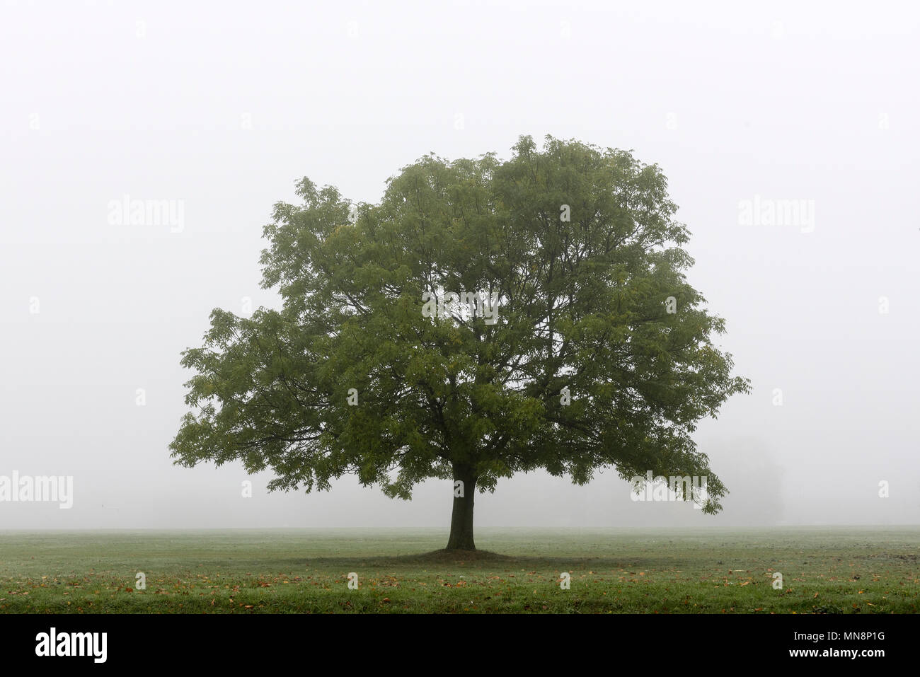 A tree in the mist beside the Purley Way, Croydon Stock Photo