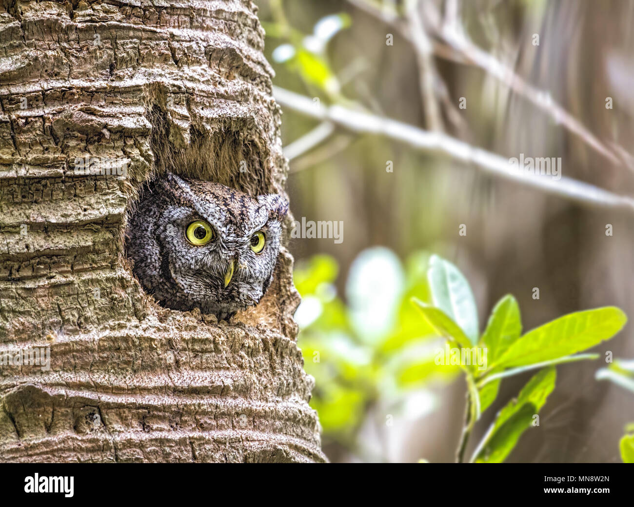 A very well- camouflaged little Eastern Screech Owl ( Megascops asio ) peering out  from its nest in a palm tree in tropical, southern Floridash, USA. Stock Photo