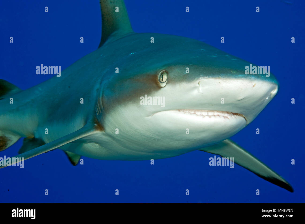Grey Reefshark | Grauer Rifhai | (Carcharhinus amblyrhynchos) - Stock Image
