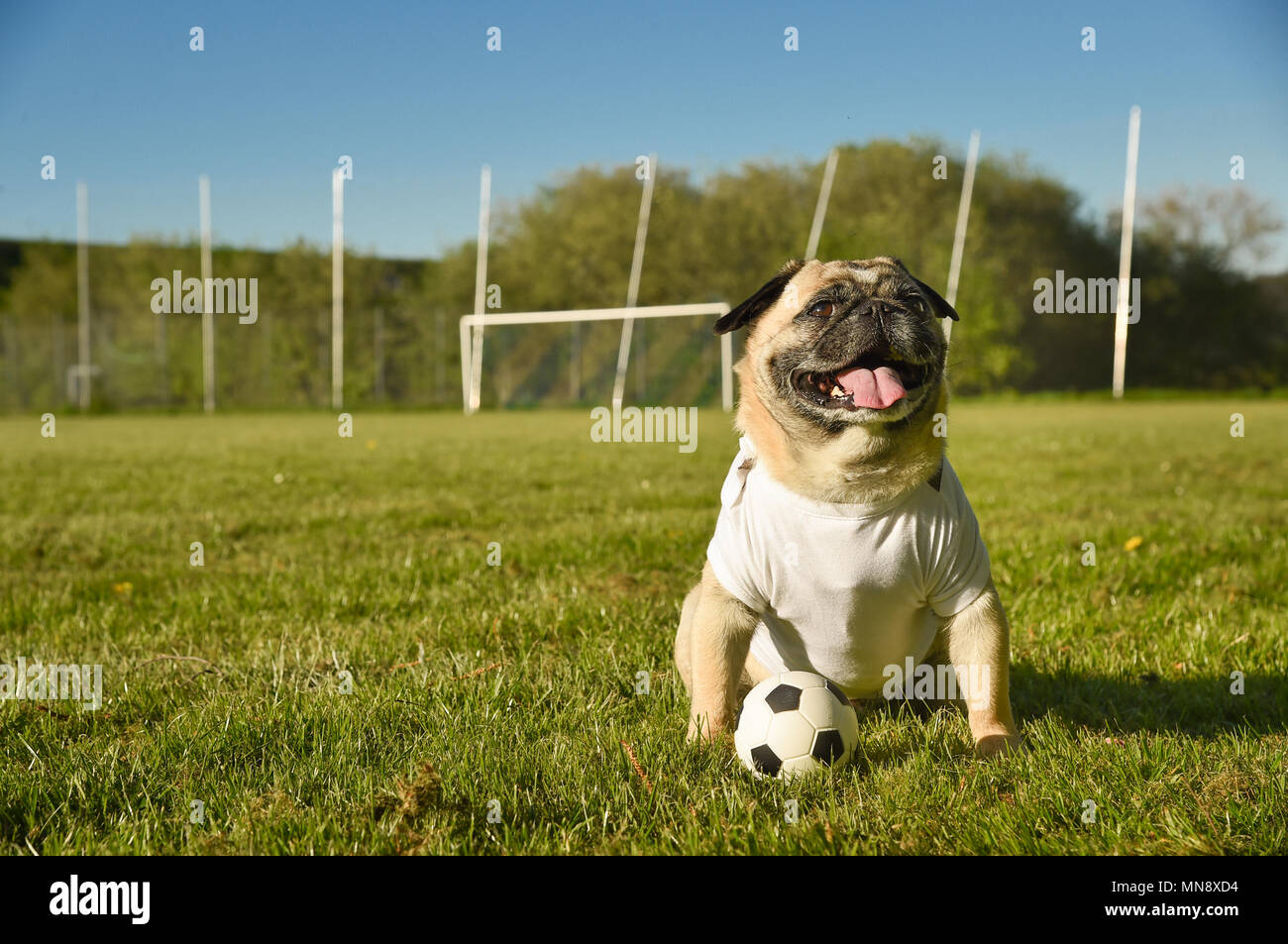 Little dog is sitting on the football field. The pug wears a T Shirt with copy space. He is attentive and guards a small football. It's a sunny day on - Stock Image