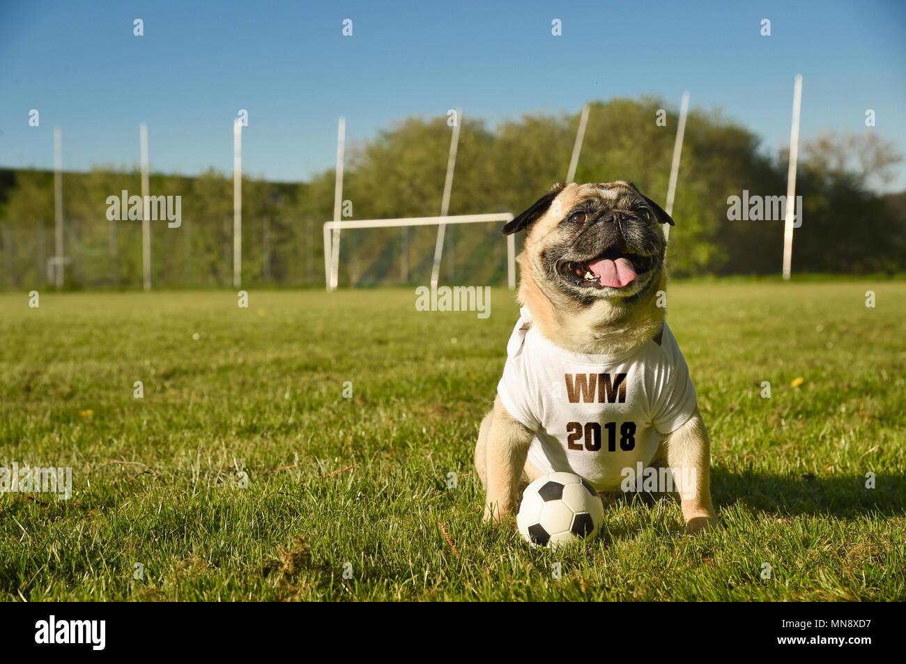 Little dog is sitting on the football field. The pug wears a tricot with the German abbreviation for the Football World championship  2018. He is atte - Stock Image