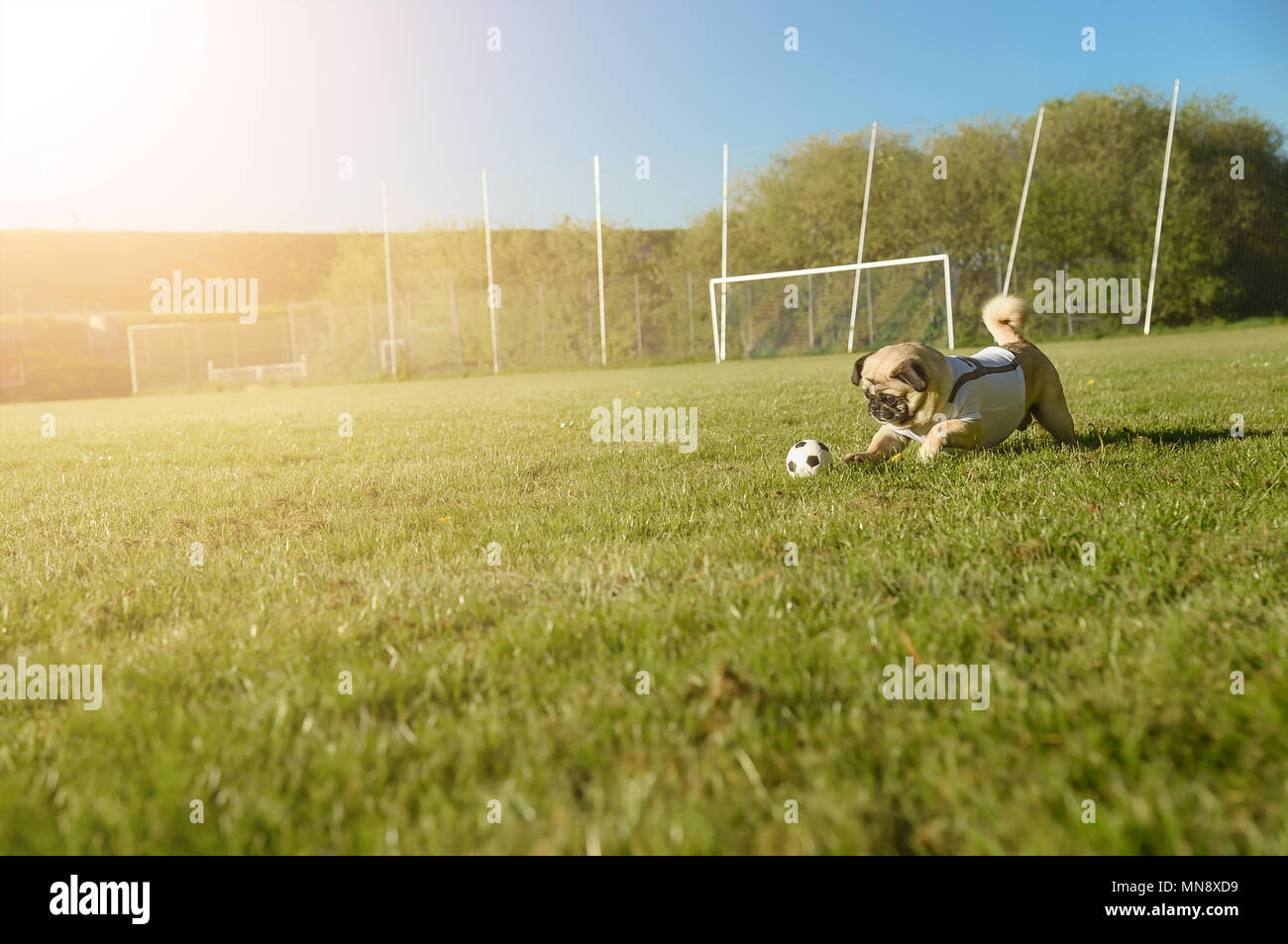 Little dog is running with a football over the football field. He rolls the ball. In the background you can see the goal. The dog is wearing a white T - Stock Image