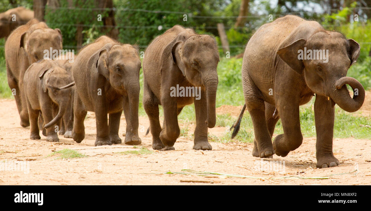 Elephants feeding at the Udwawalawe Elephant Transit Home at Uwawalawe National Park in Sri Lanka. - Stock Image