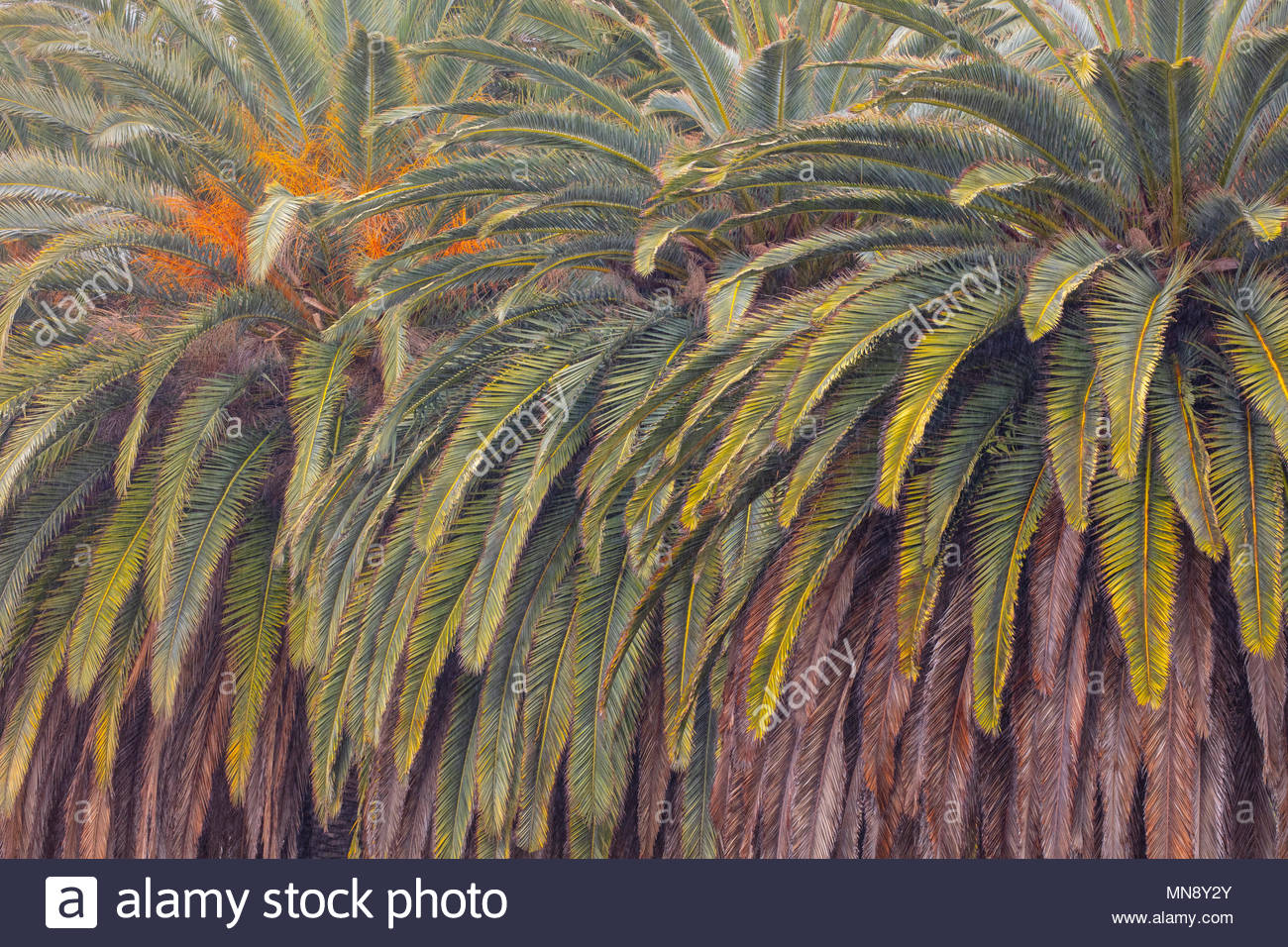 The range of green and brown colors in palm fronds are visible in this tight cluster of trees near the Malibu Lagoon in Malibu, California. - Stock Image