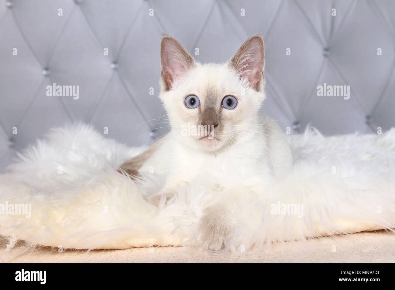 Purebred Cute Siamese Cat Studio Stock Photos & Purebred