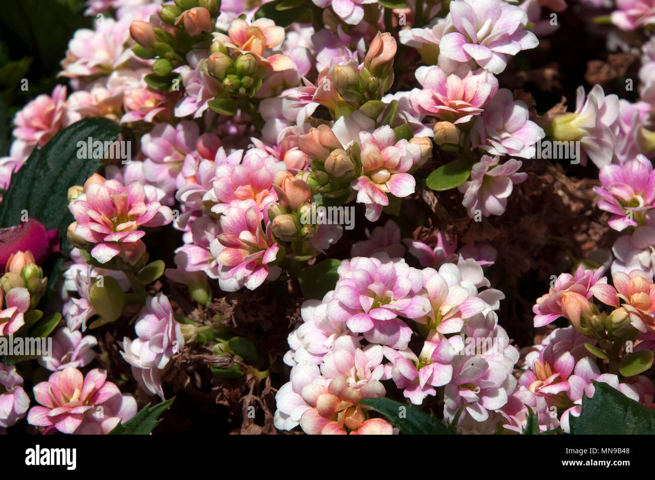 Sydney Australia Shrub With Small Pink Flowers Stock Photo