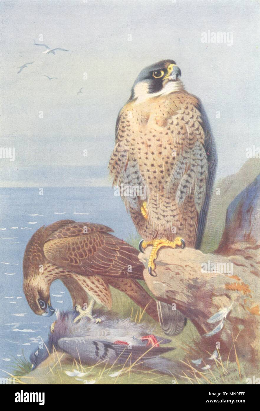 8b8056dcb60f9 BRITISH BIRDS. Peregrine Falcon. THORBURN 1925 old vintage print ...