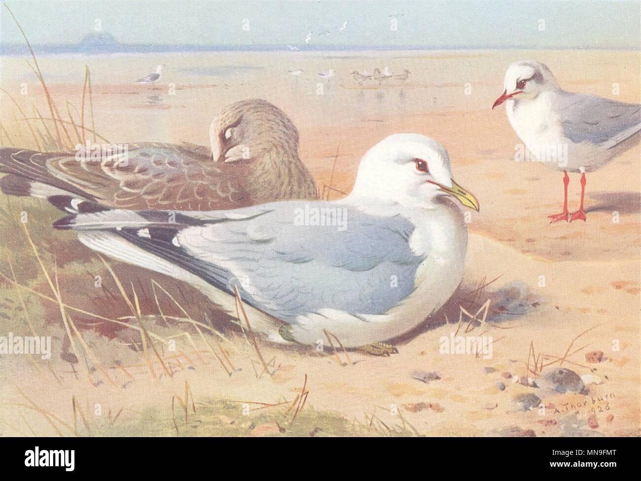 BRITISH BIRDS. Common Gull and young; Black-Headed Gull. THORBURN 1926 print - Stock Image
