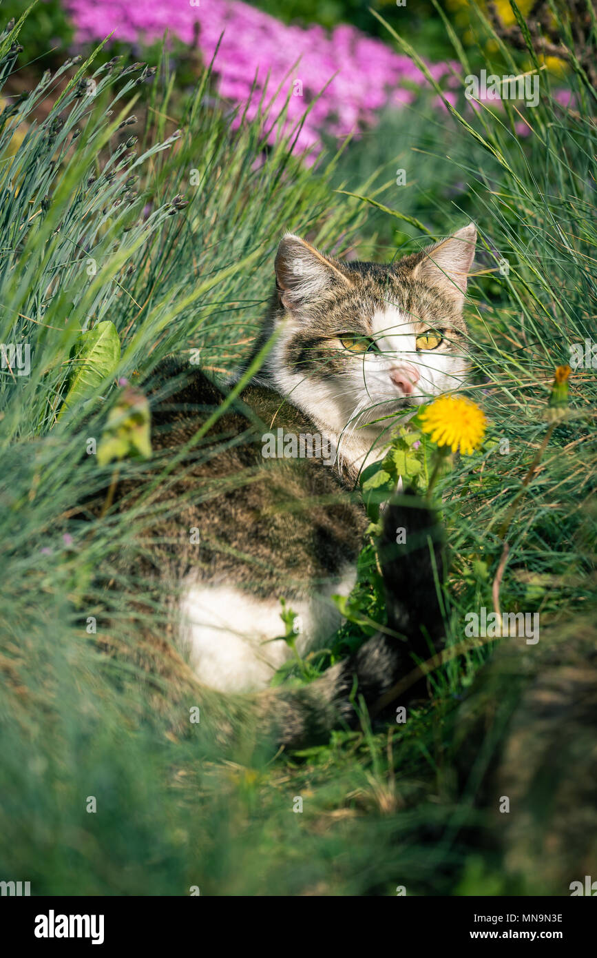 Vertical photo of adult cat. Animal is hidden among several flowers with pink and yellow color and few kind of green grass. Cat has nice white face wi Stock Photo