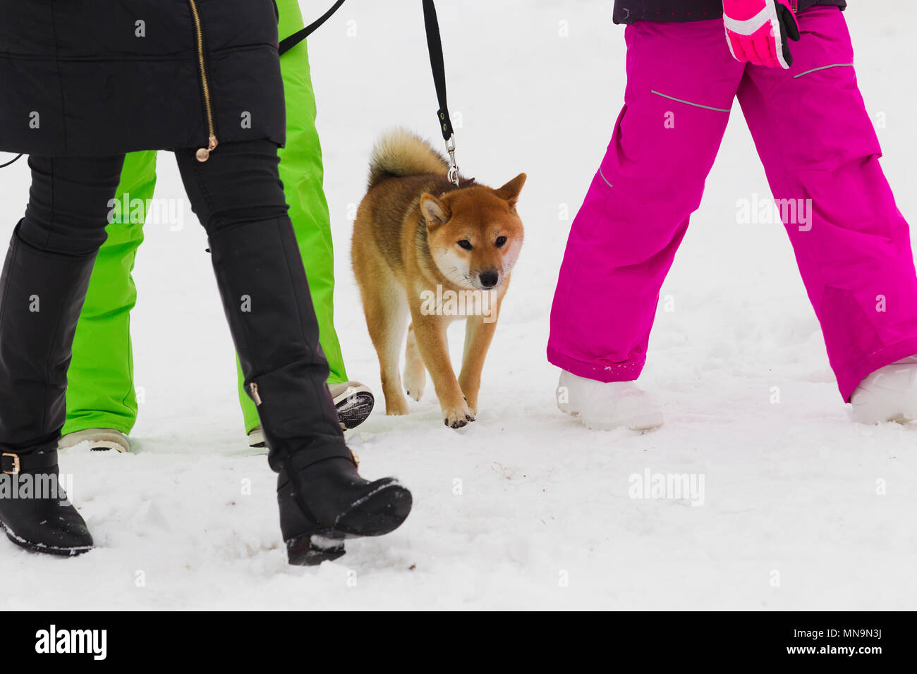 Japanese dog breed Shiba Inu between women walking legs - Stock Image