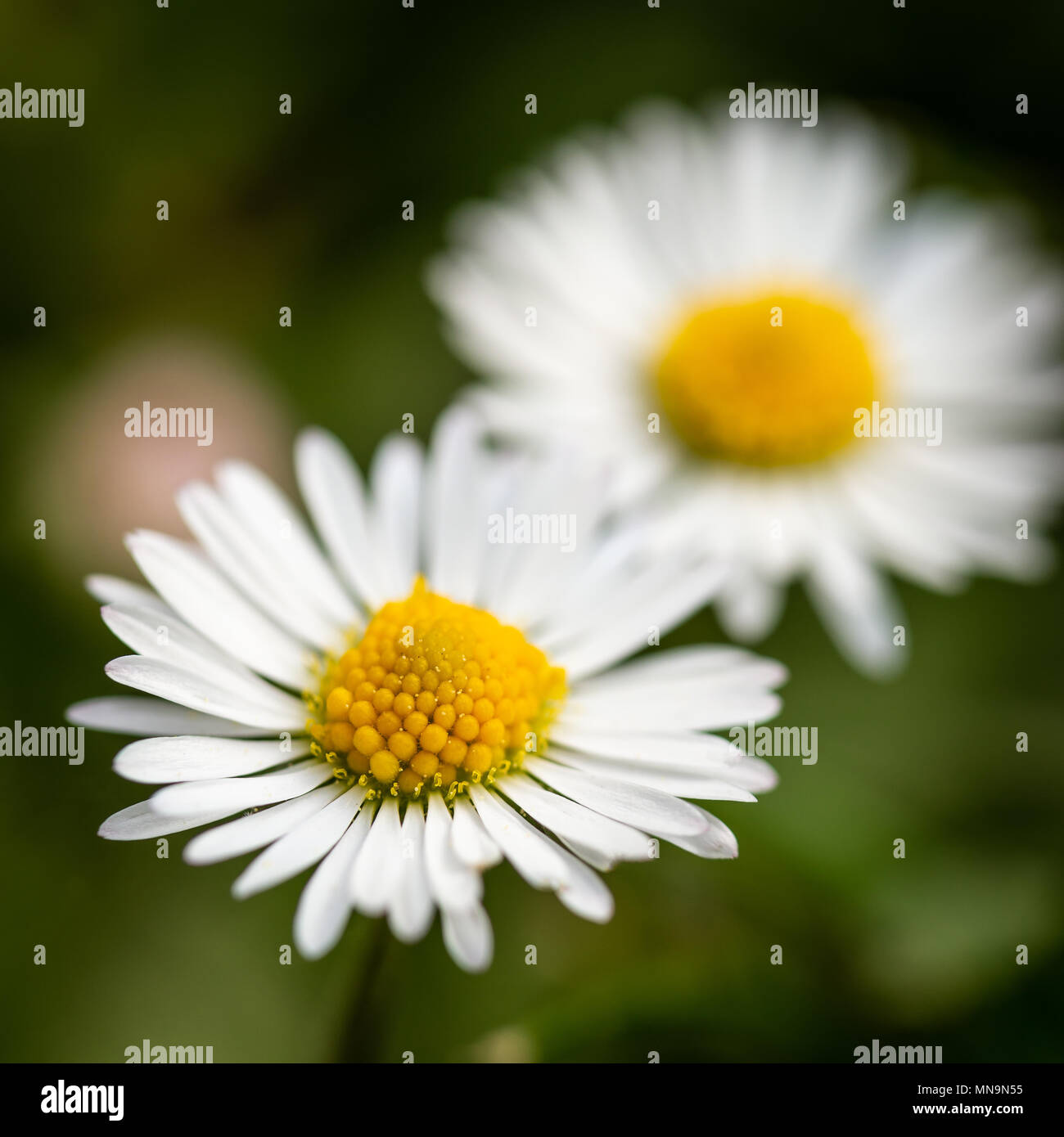 White flowers with yellow centers stock photos white flowers with square photo with two nice daisies flowers have white leaves and golden centers consists of izmirmasajfo