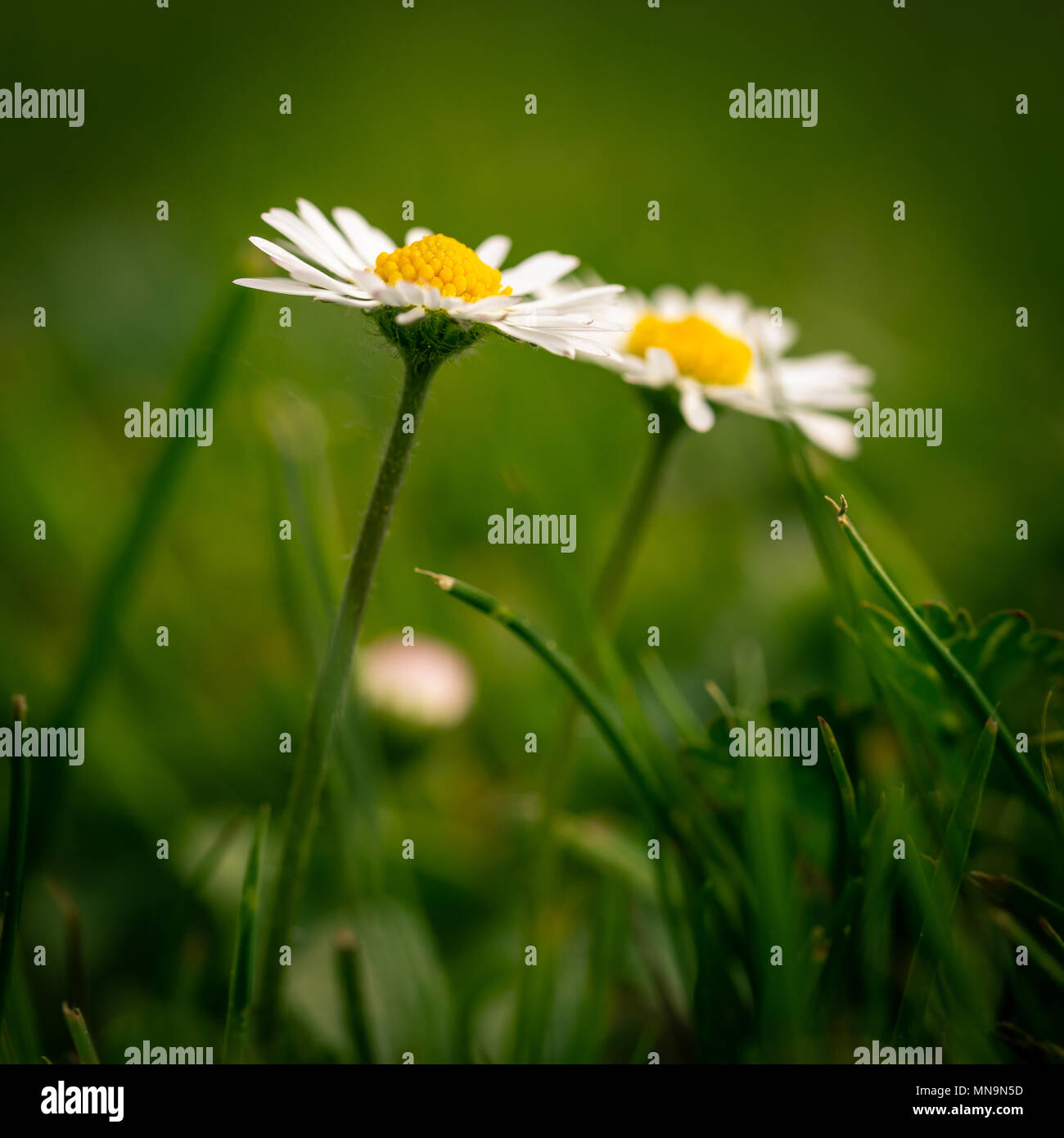 White flowers with yellow centers stock photos white flowers with square photo with two nice daisies flowers have white leaves and golden centers consists of mightylinksfo