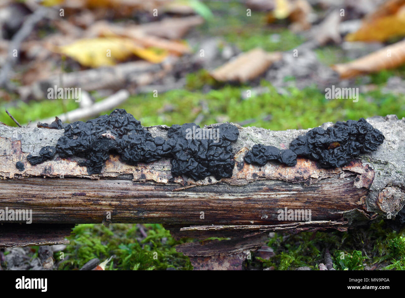 exidia nigricans jelly fungus, known as the witche's butter - Stock Image