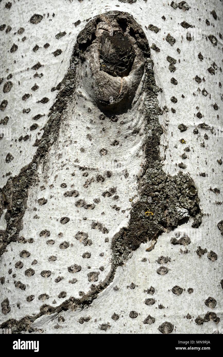Bark Pattern of Silver Birch (Betula pendula) aka Warty Birch, European White Birch or East Asian White Birch - Stock Image
