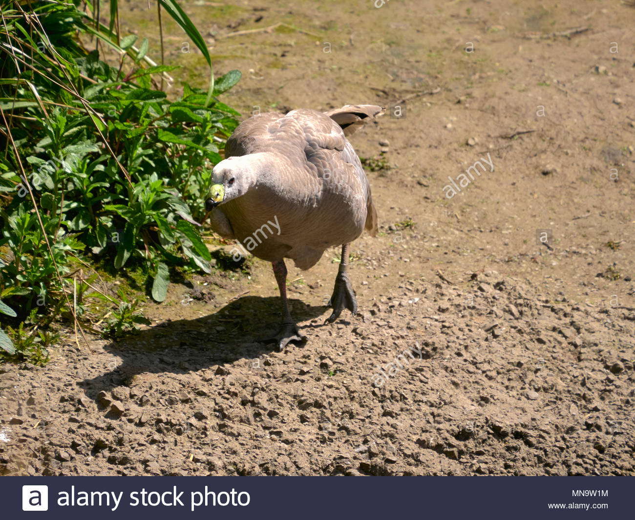 Cape Barren cereopsis novaehollandiae goose in wwt llanelli wetlands in south wales uk Stock Photo