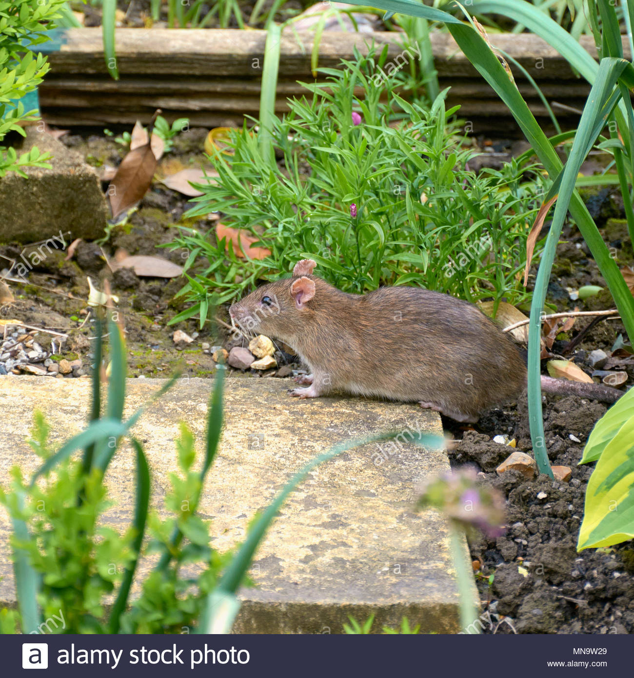 A brown rat rattus norvegicus in a british surburban uk garden - Stock Image