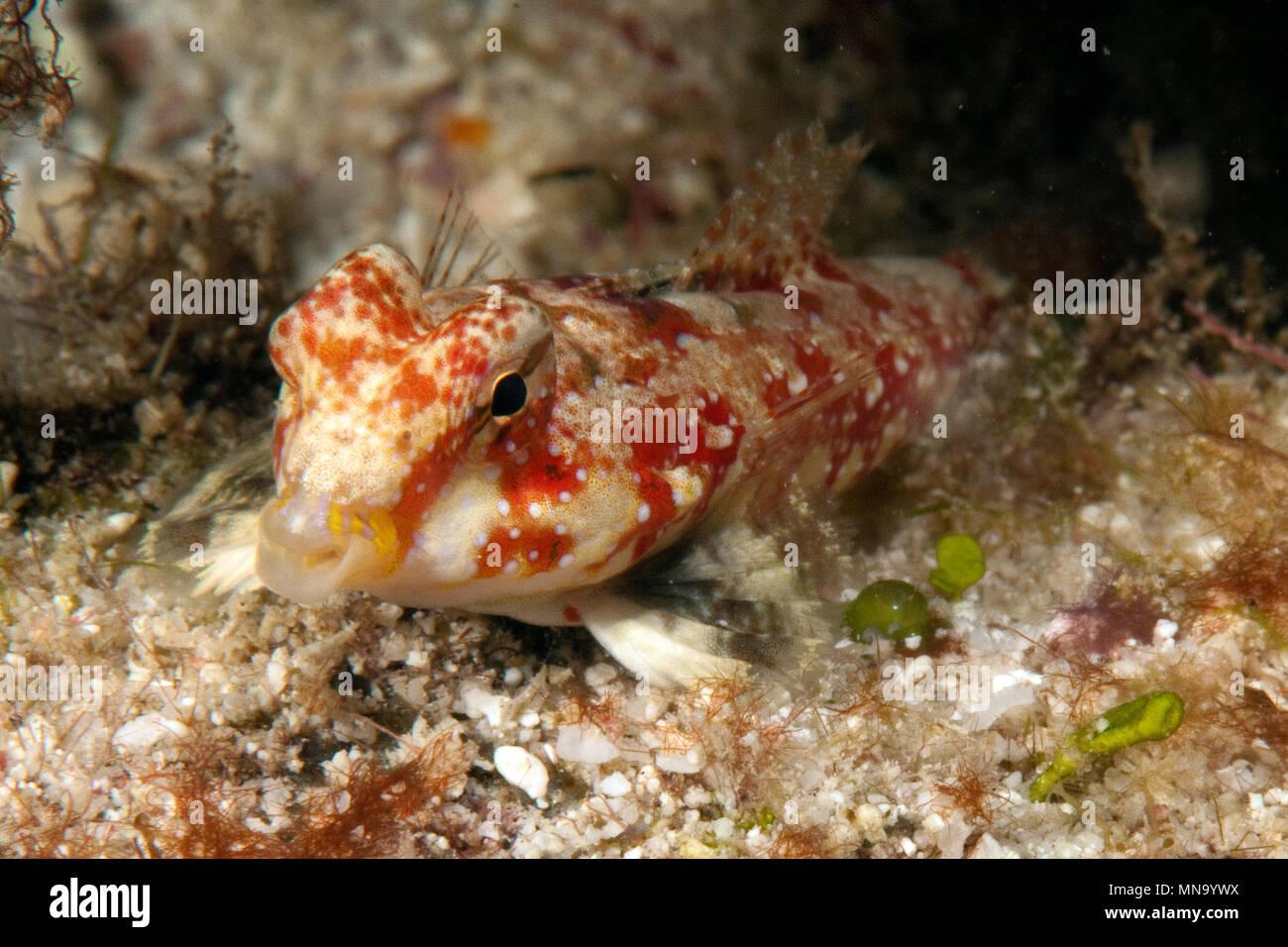 Dragonet | Leierfisch | Synchiropus marmoratus - Stock Image