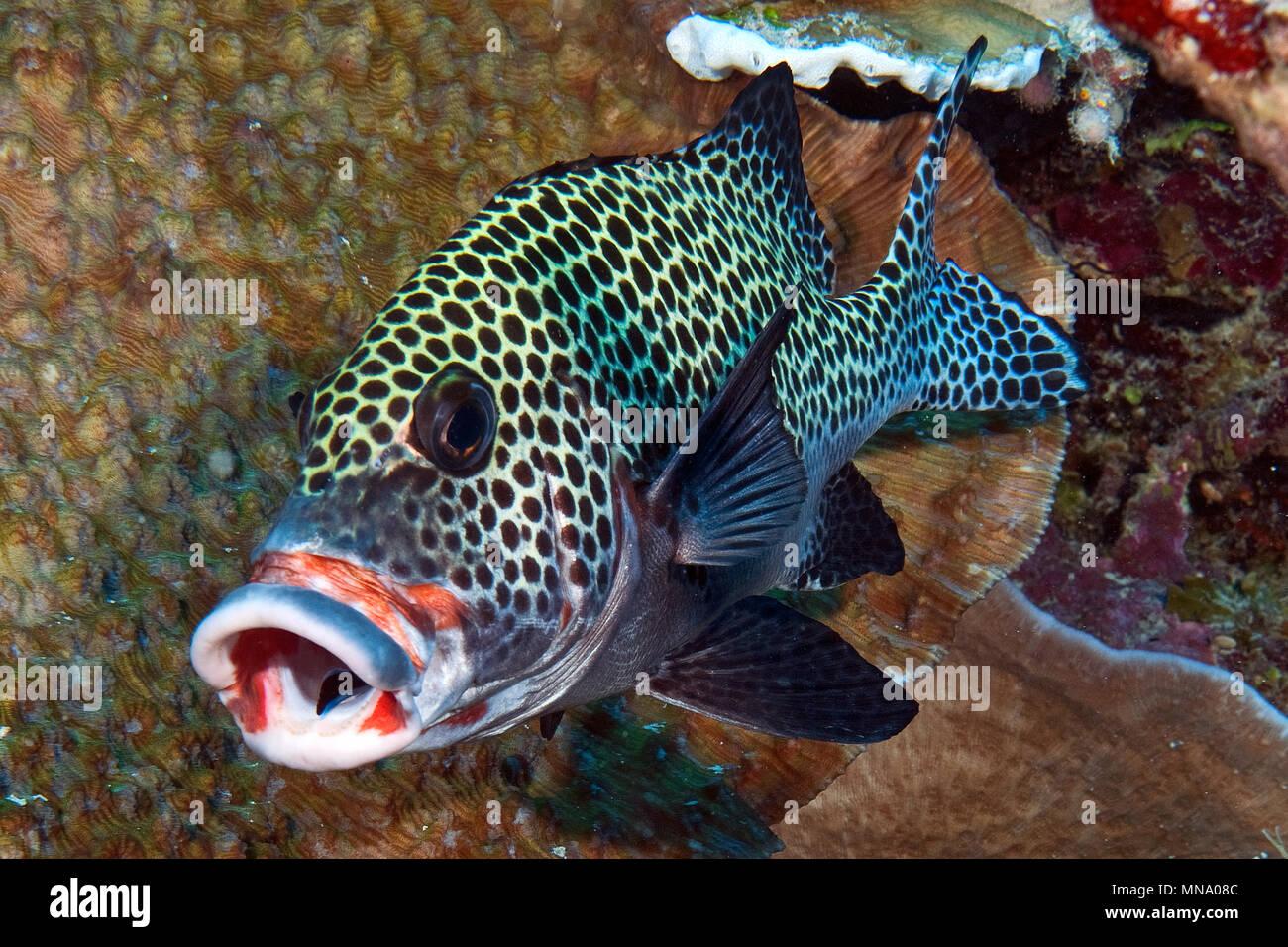 Harlekin-Suesslippe mit Putzerfisch; Putzerstation im Riff, Pazifik / (Plectorhinchus chaetodonoides) - Stock Image