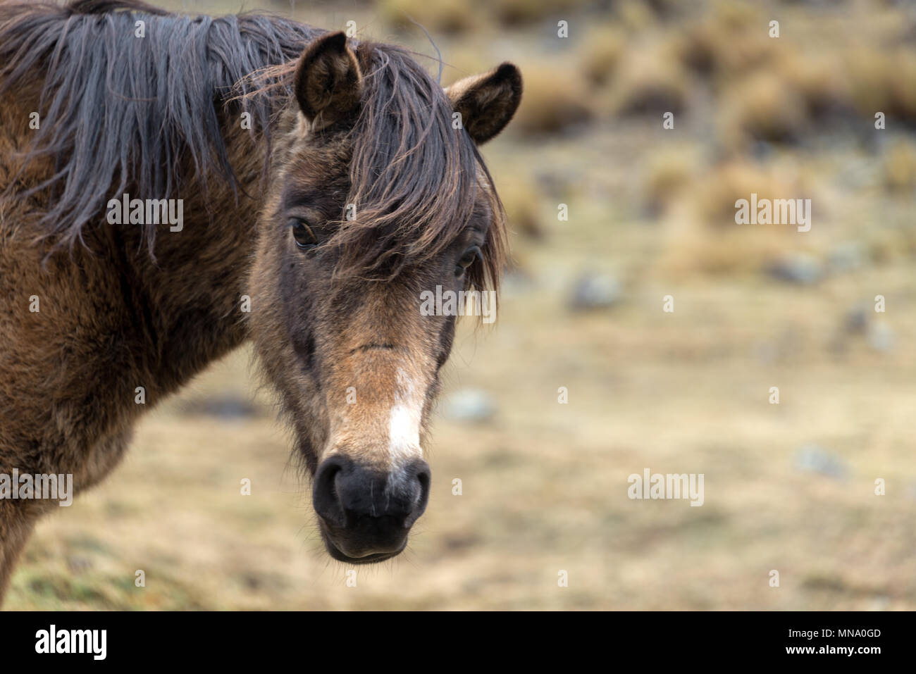 Rugged looking horse in the cold frigid highlands in Bolivia - Stock Image