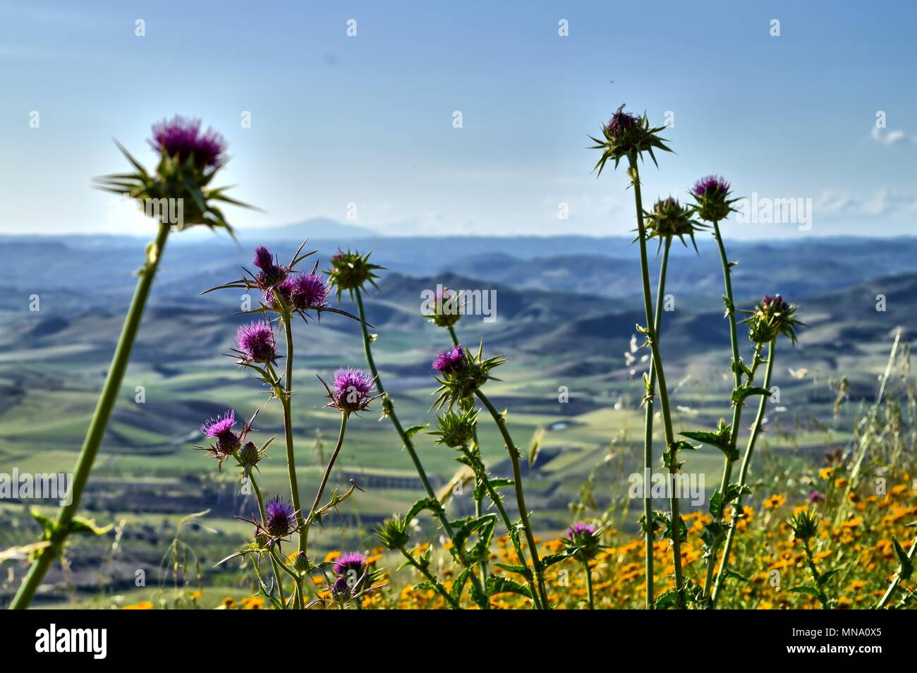 Close-up of Wild Thistles in Bloom Typical of the Macchia Mediterranea, Sicilian Landscape, Italy, Europe - Stock Image