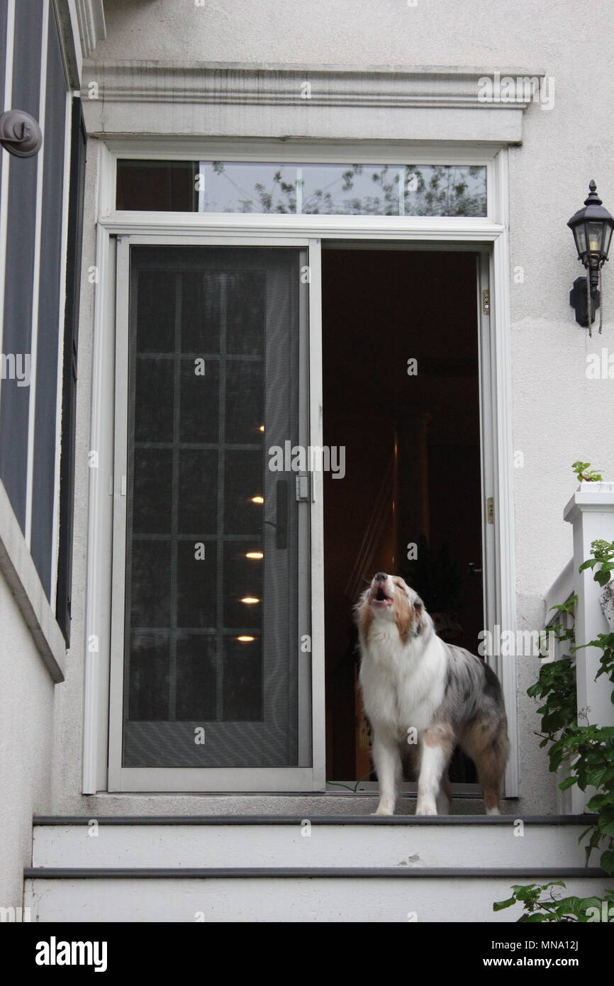 Extremely rare b!ue-eyed Australian Shepherd dog, 'Aussie', striking a photogenic pose. - Stock Image