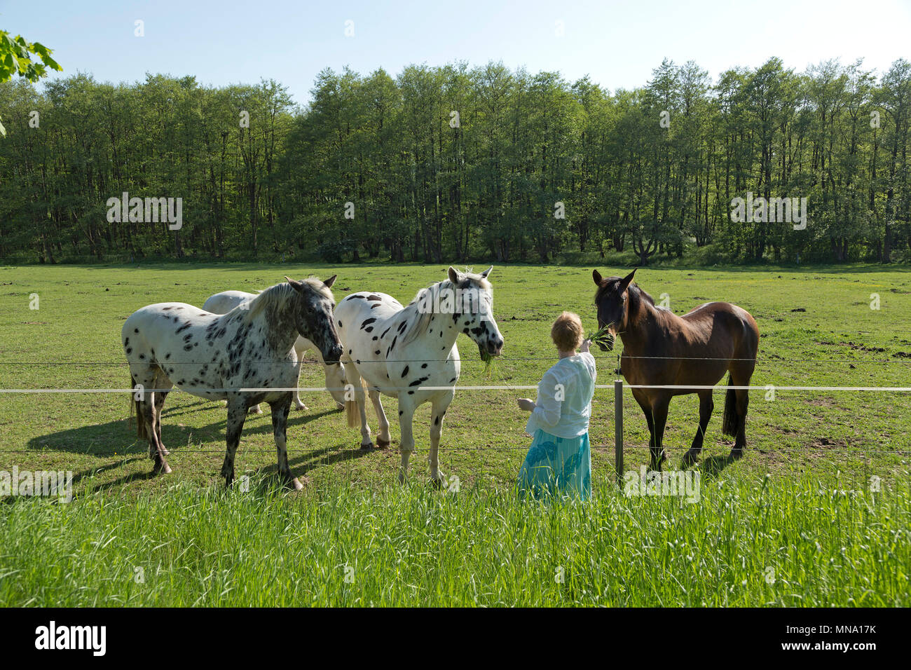 woman giving grass to horses, Klein Bollhagen near Kuehlungsborn, Mecklenburg-West Pomerania, Germany - Stock Image