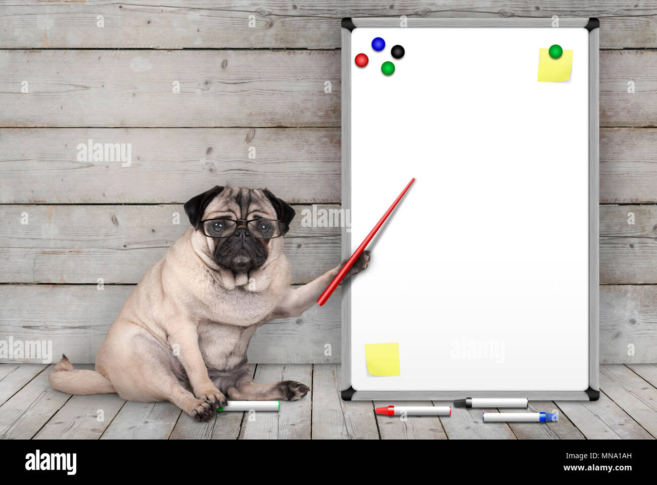 serious pug puppy dog sitting down, pointing at blank white board with yellow notes and magnets, on wooden floor and background Stock Photo